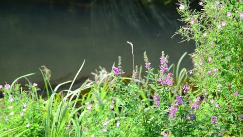 Meadow Flowers On Banks Of a Small River
