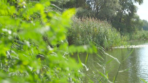 River Backwater And Plants On The Shore