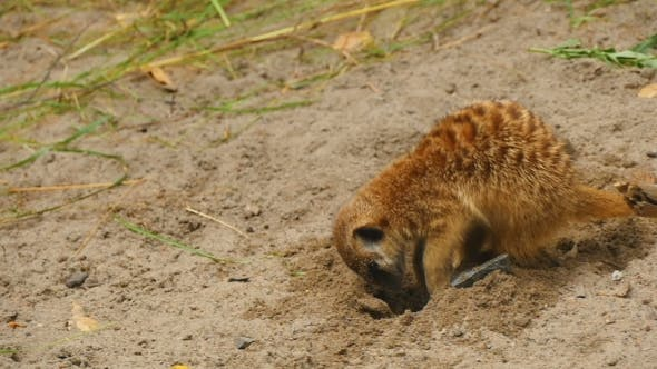 Thumbnail for Meerkats Digging In The Sand