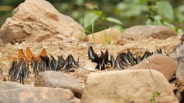 Thumbnail for Butterflies