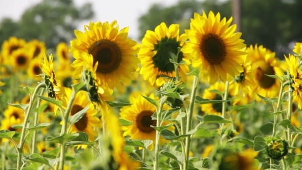 Cover Image for Sunflowers In The Field