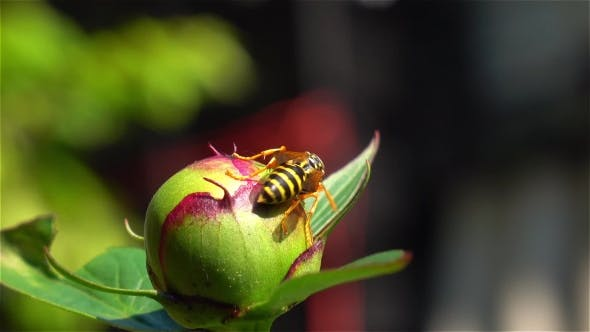 Honey Bee Pollinate Flower Bud.
