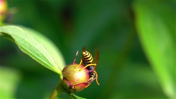 Thumbnail for Bee Pollinating.