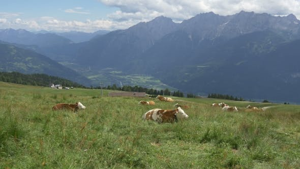 Thumbnail for Cow On Alpine Meadow High On The Mountain Pasture