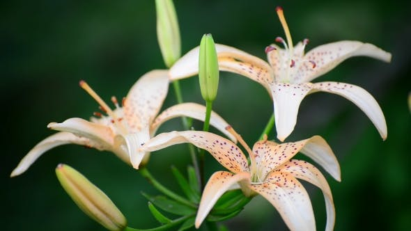 Thumbnail for Schöne rosa Lilien in einem Garten auf Blumenbeet