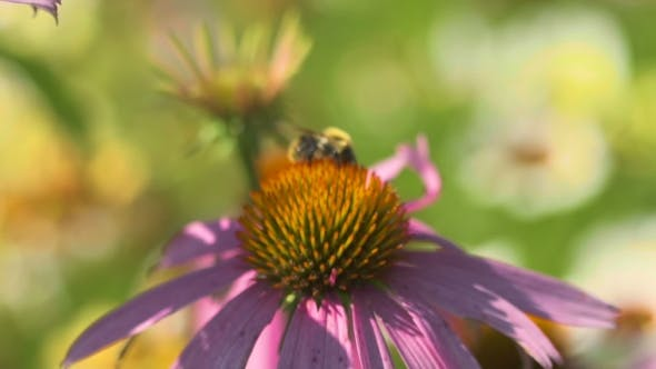 Cover Image for Beetle On a Echinacea Flower
