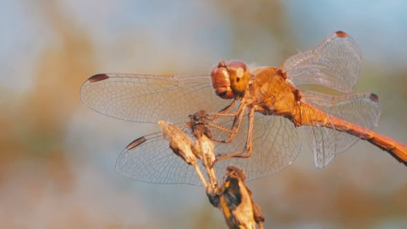Thumbnail for Dragonfly On a Branch