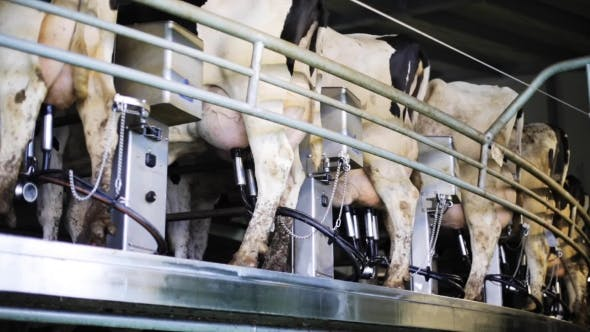 Thumbnail for Kühe Euter Mit Melkmaschine Auf Milchfarm 31