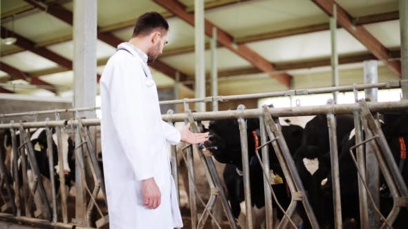 Cover Image for Veterinarian With Cows In Cowshed On Dairy Farm 39
