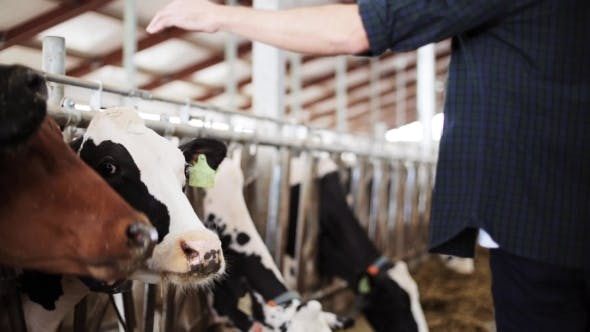 Thumbnail for Man Or Farmer With Cows In Cowshed On Dairy Farm 76