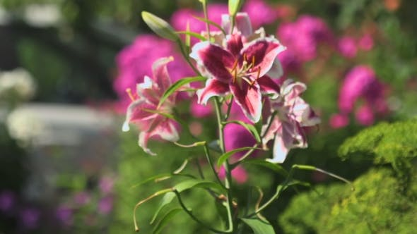 Thumbnail for Flowers Pink Lilies Swaying In The Wind