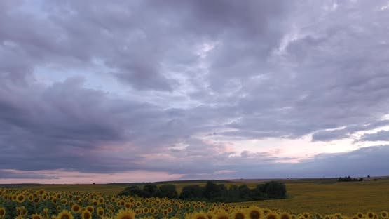 Clouds Thickened Over The Sunflower Field