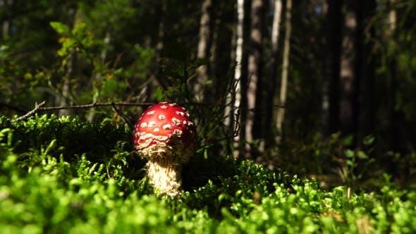 Thumbnail for Giftiger Pilz Fliegenpilz. Mit einer leuchtend roten Kappe