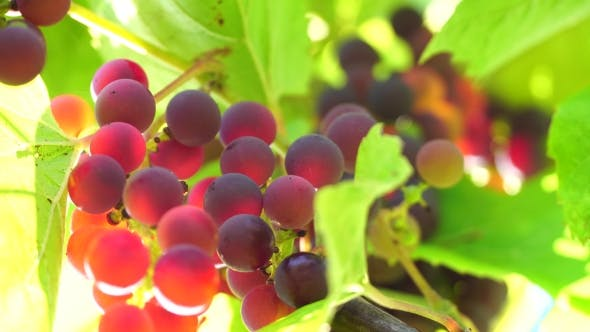 Thumbnail for Grapes On a Sunny Day, Clusters Of Bright Colors, Through The Sun's Rays