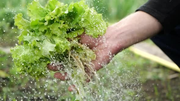 Man Holds Lettuce Leaves in His Hand, Pours a Stream of Clean Water From a Hose and Cowards, Close