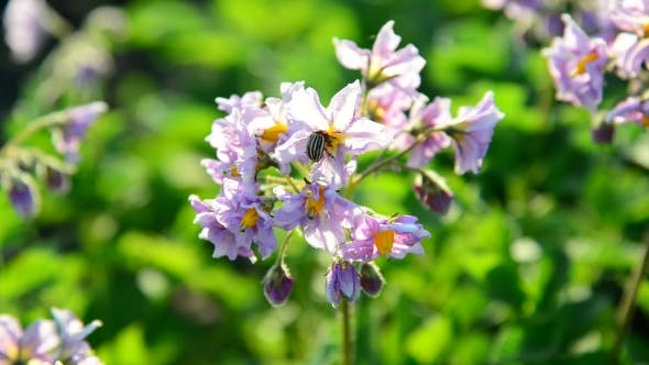 Thumbnail for Flowering Potatoes In The Summer Day