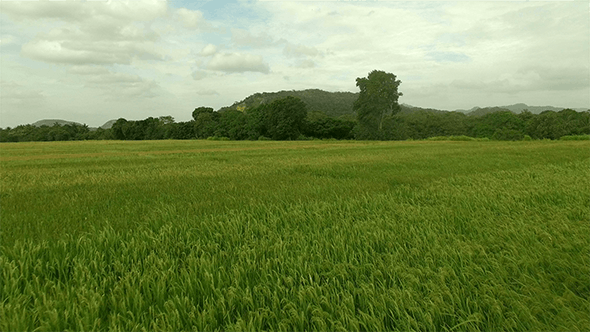 Thumbnail for Flyover A Rice Grass Paddy Field 2