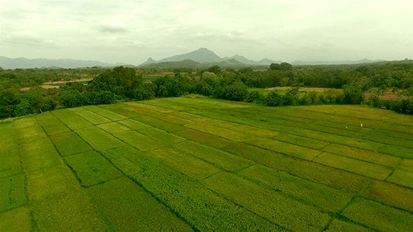 Thumbnail for Backward Flyover a Rice Grass Paddy Field