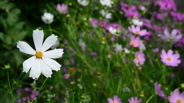 Thumbnail for Daisies Flowers In Garden