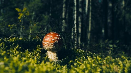 Der berühmteste giftige Pilz, essbarer Pilz.