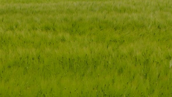 Thumbnail for Young Wheat Field Touched by the Wind