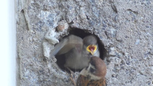 Thumbnail for Baby Sparrows In The Nest