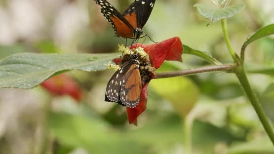 Heliconius Butterfly Adult Pair Butterflies Eating Feeding Nectaring