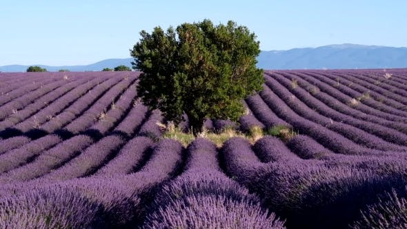 Thumbnail for Lavender Field In Plateau Valensole