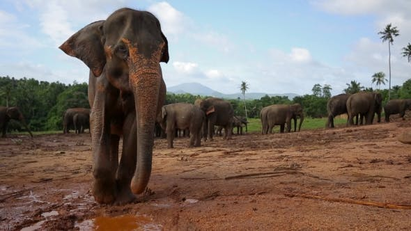 Thumbnail for Group of Wild Elephants