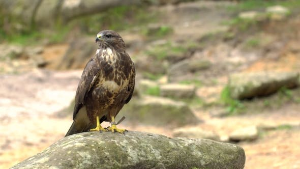 Thumbnail for A Red-tailed Hawk Sitting On a Rock