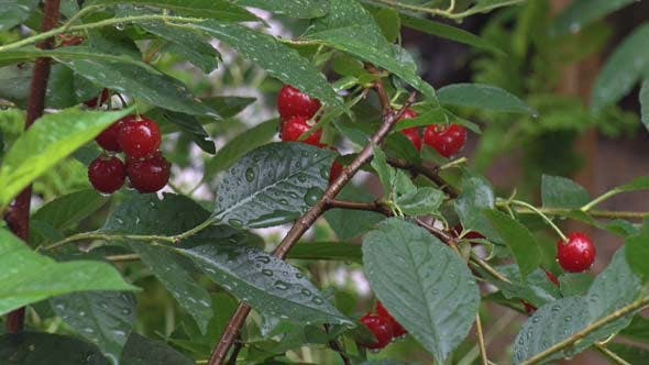 Cover Image for Cherries in Rain