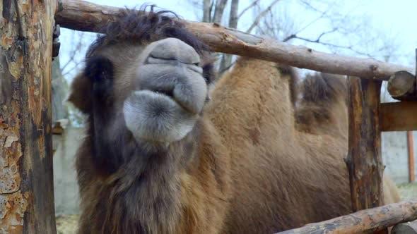 Thumbnail for Bactrian Camel Head