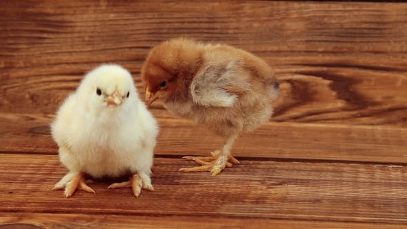 Thumbnail for Chicken On Wooden Table