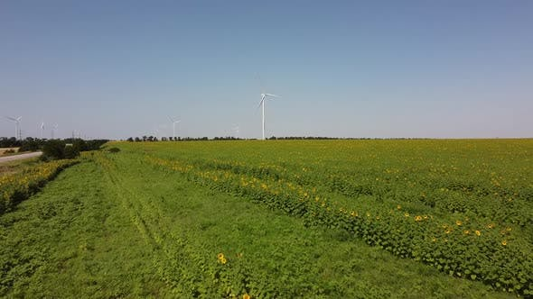 Sunflower field. Windmill.