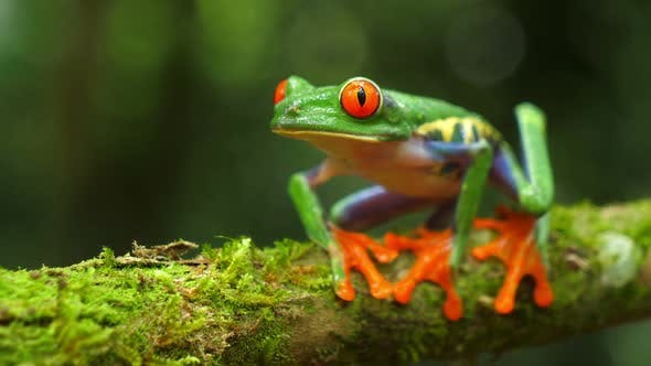 Thumbnail for Red-eyed Tree Frog in its Natural Habitat in the Caribbean Rainforest