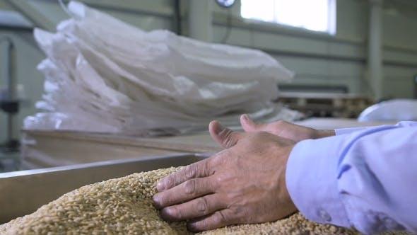 Thumbnail for Harvest,  Of Farmer's Hands Holding Wheat Grains