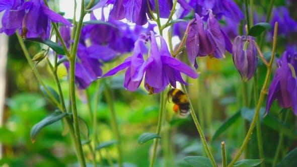 Thumbnail for Bumblebee On Aquilegia Flower