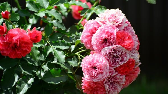 Thumbnail for Abundantly Flowering Bush Of Pink Roses