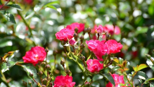 Thumbnail for Plentifully Flowering Bush Of Pink Roses