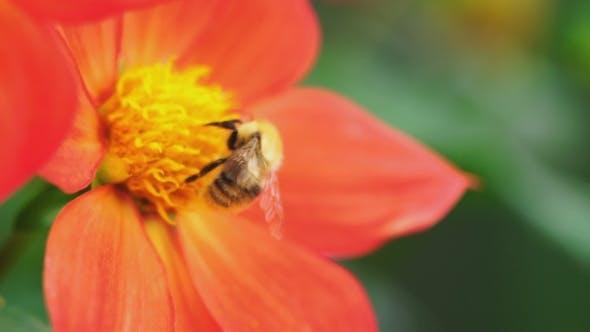 Thumbnail for Bumblebee on Dahlia Flower