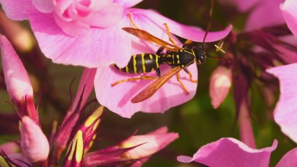 Thumbnail for Wasp On Pink Phlox Flowers
