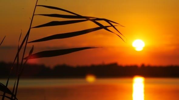 Thumbnail for Reeds At Sanset