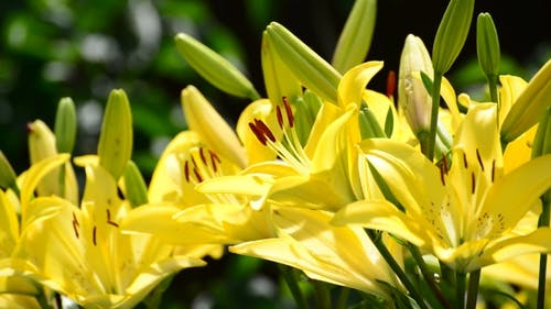 Gelbe Lilie mit großen Staubblättern