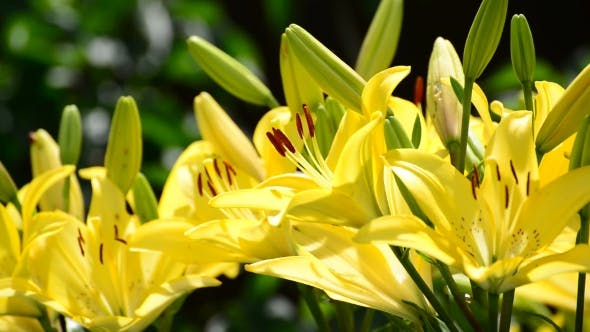 A Lot Of Yellow Lily With Large Stamens