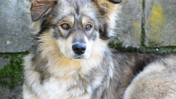 Dog With Clever Eyes Lies At Brick Wall