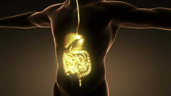 Thumbnail for Human Body With Visible Digestive System