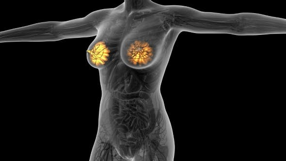 Human Body With Visible Glow Mammary Gland