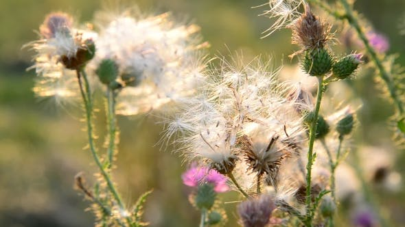 Thumbnail for Creeping Thistle Or Pink Sow-thistle . Latin Name - Cirsium Arvense