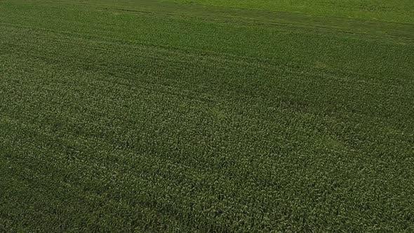 Thumbnail for Corn Field