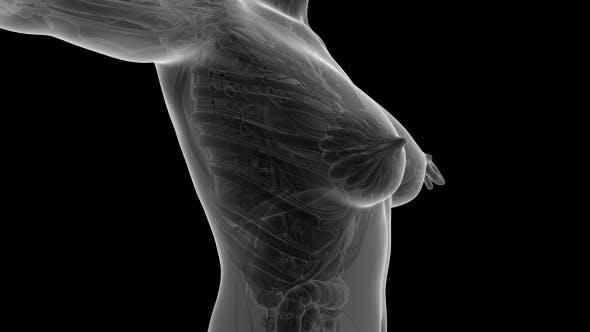 Thumbnail for Human Body With Visible Organs